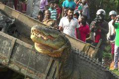 """Đổ xô đi xem thả cá sấu """"khủng"""" về sông"""