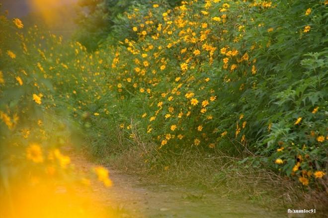Những cung đường vàng rực sắc hoa dã quỳ ở Lâm Đồng