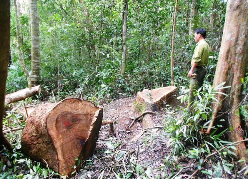 phá rừng phòng hộ, cây đại thụ bị đốn hạ, cây gỗ dổi bị cưa, Ban quản lý Rừng phòng hộ huyện Vĩnh Thạnh, bình Định