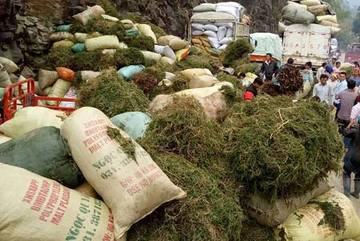 Dân đổ xô vào rừng đào cây dương xỉ bán sang Trung Quốc