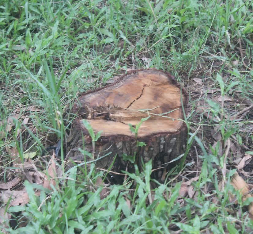 Phạt 5 triệu đồng cô giáo chặt cây trong trường học
