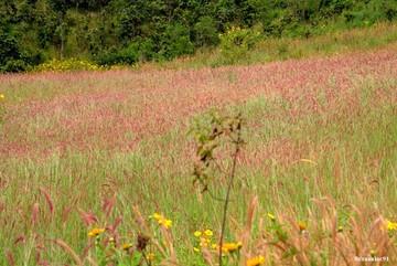 Đồi cỏ lau hồng rất ít người biết ở Lâm Đồng