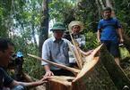 Quảng Nam: Kỷ luật hàng loạt cá nhân vụ phá rừng pơ mu