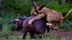 Hà mã 'khủng' nổi tiếng hung bạo bị bầy sư tử xẻ thịt giữa rừng