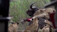 Trâu rừng bị sư tử bủa vây, hạ gục chóng vánh