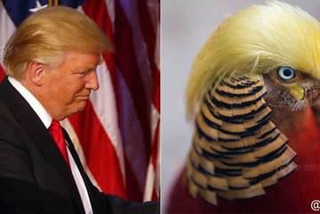 Chú gà lôi nổi tiếng vì có 'mái tóc' giống Trump