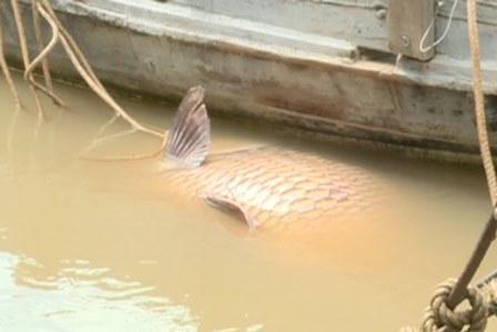 Bắt được cá hô vàng nặng gần 130kg, bán hơn 300 triệu đồng