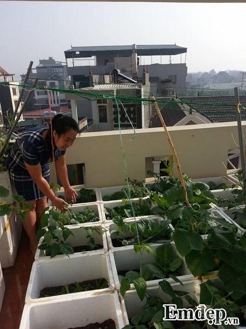 Sân thượng đẹp cuốn hút với rau sạch và hoa hồng của dược sỹ