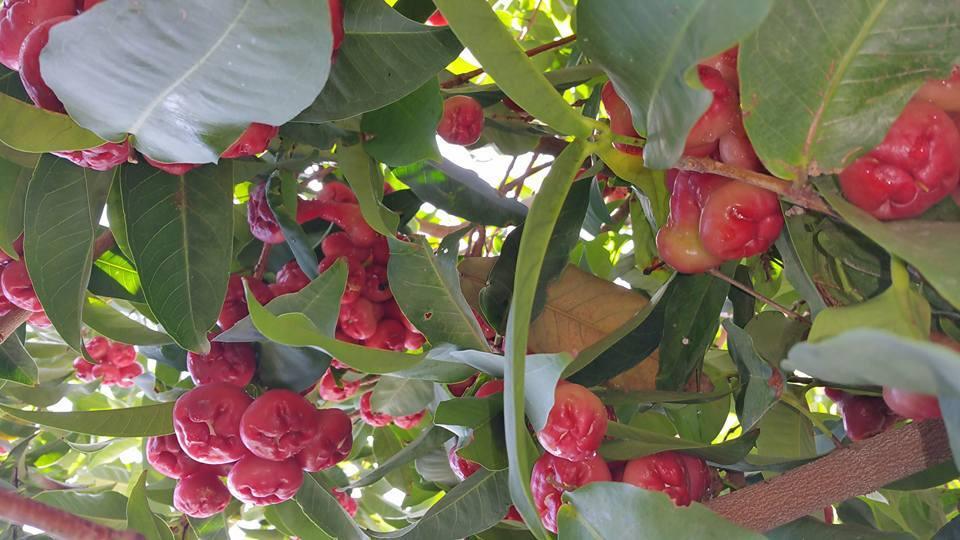 Khu vườn đầy ắp cây trái Việt của người nổi tiếng trên đất Mỹ