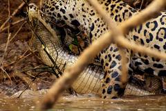 Báo đốm lao xuống sông lôi cá sấu 'khủng' lên bờ xẻ thịt