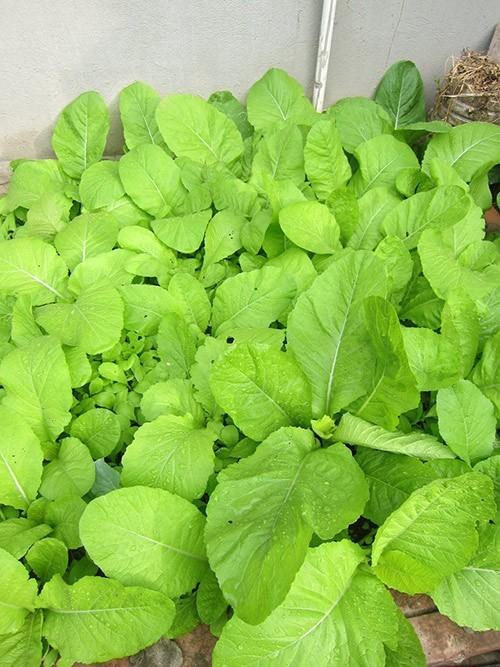 Mẹ Việt tận dụng từng góc sân thượng để trồng rau cải thiện bữa ăn gia đình