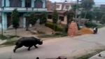 """10 clip nóng: Tê giác """"khủng"""" truy đuổi người, cả phố náo loạn"""