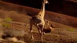 Hươu cao cổ ra đòn huỷ diệt vùi dập sư tử giữa sa mạc