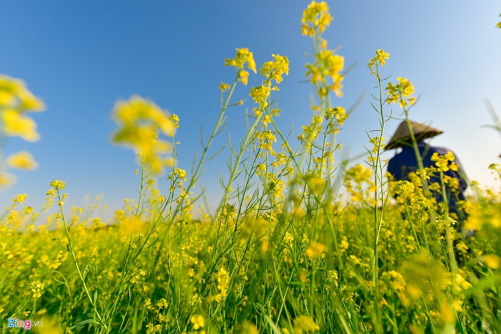 Đồng hoa cải vàng bên sông Hồng khiến giới trẻ mê mẩn