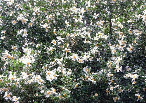 Đẹp nao lòng hoa Sở ở Bình Liêu