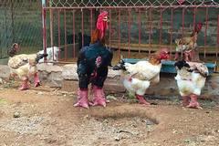 100 triệu mua gà quý ăn Tết: Lùng khắp Bắc Bộ chiều đại gia