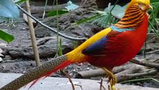 Chim trĩ 7 màu biếu Tết: Gần 20 triệu đồng/cặp, muốn mua vẫn phải chờ