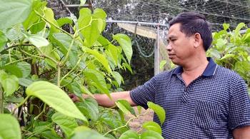 Làng trầu không xuất khẩu độc nhất vô nhị Việt Nam