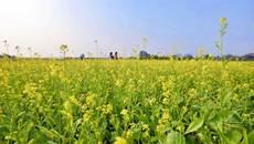 Thả hồn phiêu bồng trên cánh đồng hoa cải ven đô