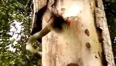 Chim gõ kiến quyết tử với rắn lục cực độc