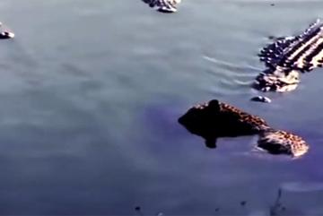 Cá sấu 'khủng' xé xác báo đốm dưới sông