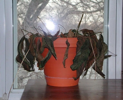 Những loại cây cực xui xẻo, tuyệt đối không trồng nếu không muốn mất tiền