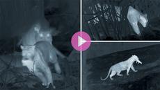 Báo hoa săn mồi tàn khốc, ăn thịt con của lợn rừng giữa đêm