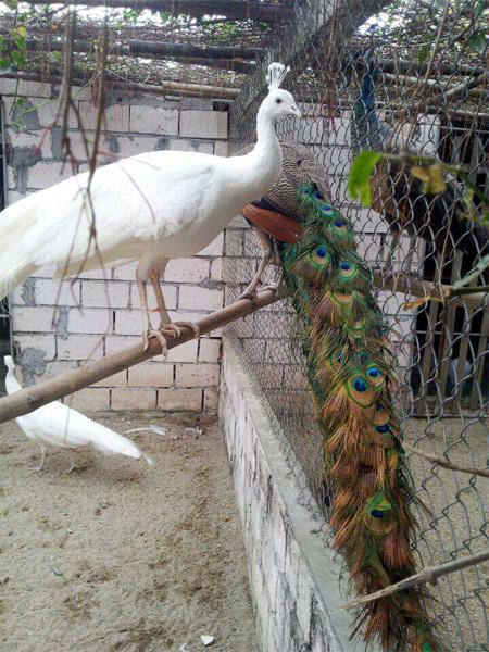 Đại gia chi hàng chục triệu lùng mua chim Công chơi Tết