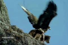 Khoảnh khắc đáng sợ đại bàng ném dê khỏi vách đá sâu hun hút