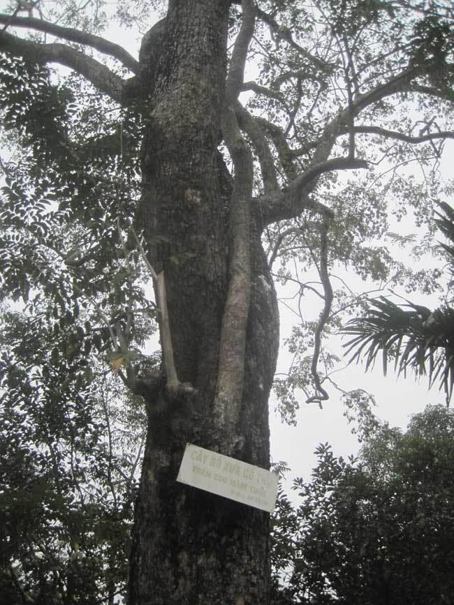 Thực hư cây sưa 200 tuổi giá 50 tỷ: Cuộc 'hỗn chiến' đổ máu
