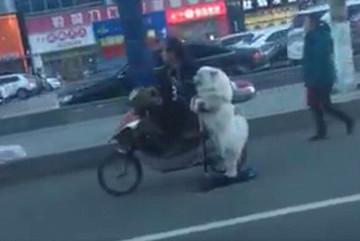 Há hốc mồm với chú chó lái scooter trên phố