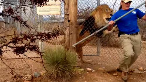 [VietnamNet.vn] Sư tử gầm lên phá cửa, nhân viên vườn thú khóc thét