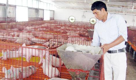 """Lạ lùng chuyện đàn lợn đông đúc lên ở """"chung cư"""" tại Hà Nội"""