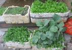Rau trồng trong hộp xốp tại gia chưa hẳn an toàn