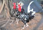 Giới nhà giàu chi bạc triệu lùng gà quý ăn Tết