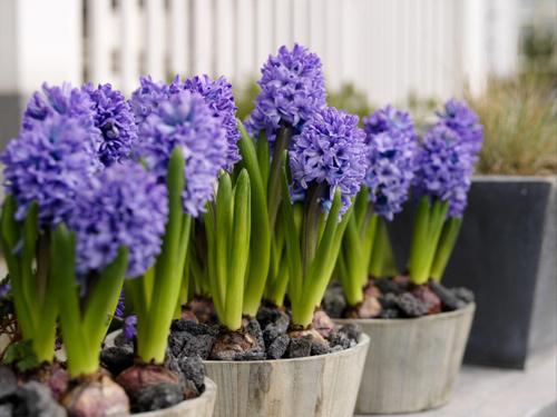 20161213102945 hoa tien ong Gợi ý chọn mua hoa vừa đẹp vửa có phong thủy tốt chơi Tết để rước lộc tài