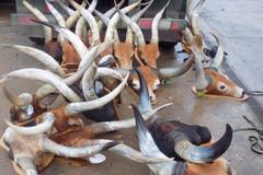 Rao bán đầu thú có nguồn gốc châu Phi, một kiểu lừa bịp mới