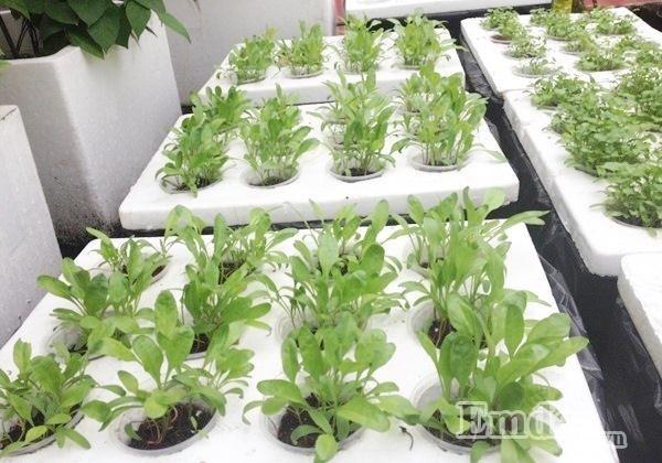 Mẹ trẻ thuê nhà vẫn trồng cả vườn rau thủy canh cho con ăn