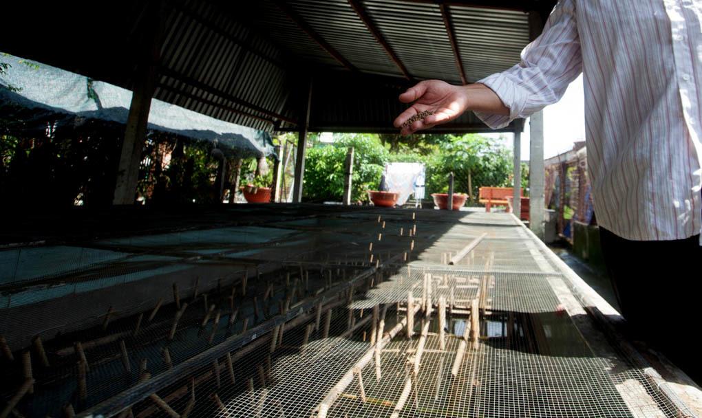 Kiếm trăm triệu mỗi tháng nhờ nuôi cà cuống