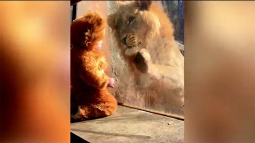 [VietnamNet.vn] Phút đối mặt của em bé với sư tử đực điên cuồng
