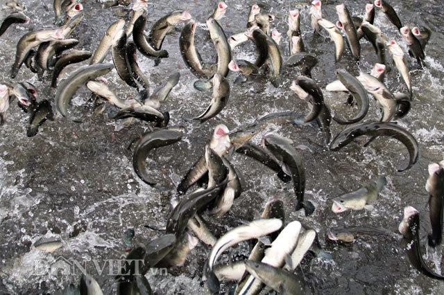 Anh nông dân Cần Thơ gọi cả vạn con cá lóc nhảy múa trên mặt nước