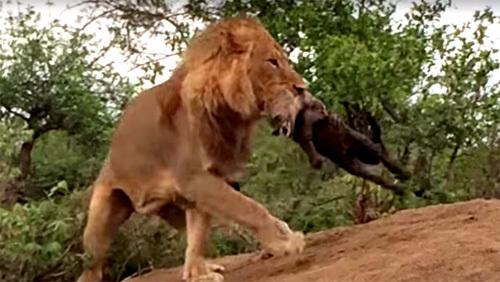 [VietnamNet.vn] Xem sư tử truy sát, cắn chết linh cẩu tận hang ổ