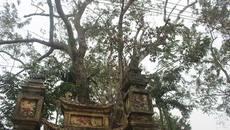 Đại gia mua cây sưa từng rao bán 50 tỷ ở Bắc Ninh với giá 24,5 tỷ đồng là ai?