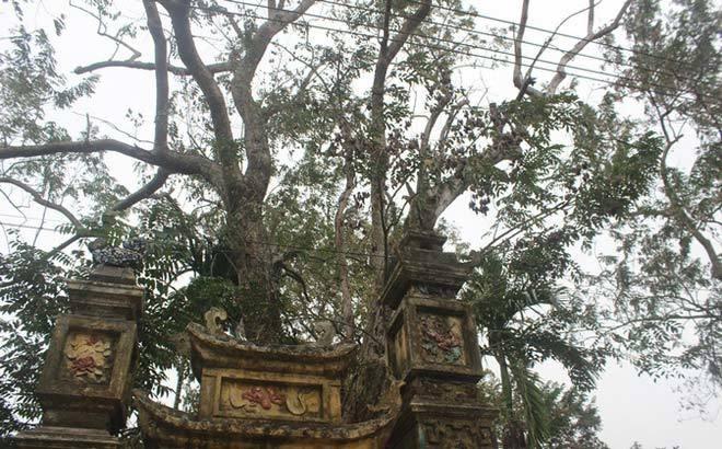 Đại gia, cây sưa, rao bán 50 tỷ, Bắc Ninh, gốc sưa, gỗ sưa, bàn ghế gỗ sưa, sưu tập