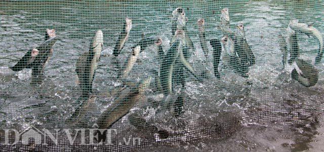 Vì sao cả vạn con cá lóc ở Cần Thơ nhảy múa được trên mặt nước?