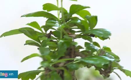 Cận cảnh bonsai tiền triệu bay lơ lửng ở Sài Gòn