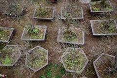 Vườn mai trắng hàng trăm triệu đồng ở Hà Nội