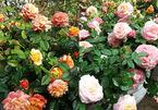 Choáng ngợp trước thiên đường 600 loại hoa hồng của nữ thạc sĩ tài năng