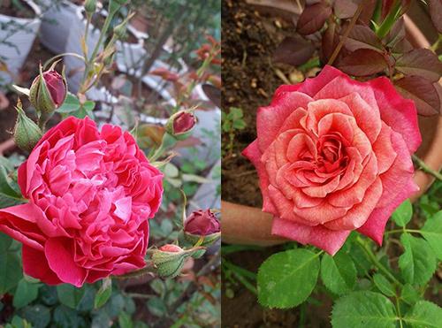 vườn hồng, cách trồng hoa hồng ngoại, hoa hồng nước Anh