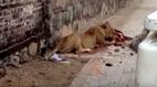 Sư tử xé xác bò, người dân nín thở trốn mái nhà